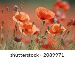 Close Up Of Common Poppies.
