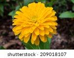 Beautiful Yellow Zinnia  Flower ...