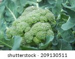 fresh organic broccoli with... | Shutterstock . vector #209130511