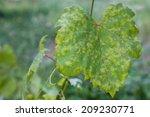 Closeup Of Vine Grape Leaf...