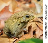 Small photo of African common toad Amietophrynus gutturalis