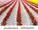 Small photo of The rows of red begonia Flower garden between with Ameria flower and marigold flower rows tomita farm in Hokkaido,Japan