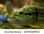 fish head closeup | Shutterstock . vector #209408905