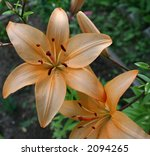 Beautiful Tiger lily growing outdoors - stock photo