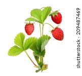 Wild Strawberry Isolated On...