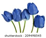Dewy Blue Tulips Isolated On...