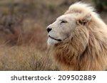 A Huge Male White Lion Lying...