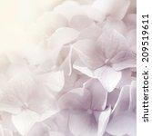 sweet color hydrangea in blur... | Shutterstock . vector #209519611