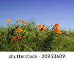 californian poppy | Shutterstock . vector #20953609