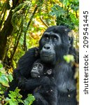 Gorilla Mother And Her Baby In...