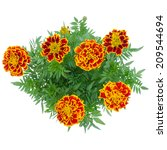 French Marigolds Blooming On...
