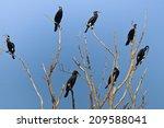 Cormorants  Phalacrocorax Carb...