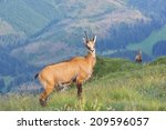 chamois   rupicapra rupicapra  | Shutterstock . vector #209596057