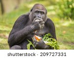 Gorilla Eating Vegetables