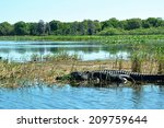 Alligator In Water In Nature