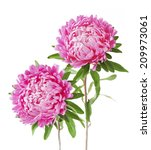 pink asters bunch isolated on... | Shutterstock . vector #209973061
