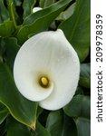 Small photo of Calla Lily (Alocasia macrorrhizos)