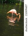 flamingo in the ponds | Shutterstock . vector #21009607