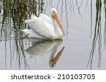 American White Pelican Swimmin...