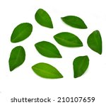 citrus leaves.  isolated on a... | Shutterstock . vector #210107659