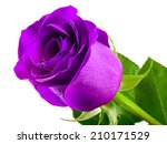 Violet Rose Isolated On A Whit...