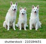 White Swiss Shepherd Portrait