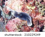 Small photo of Sea Slug _ Chelidonura amoeba at northeast coast of Taiwan.