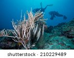 Small photo of Shrimpfish (Aeoliscus strigatus) with coral