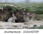 Rabbit  Oryctolagus Cuniculus ...