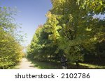 Small photo of alley of sweetgums - in autumn