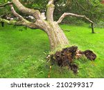Fallen Tree  Storm Or Hurricane ...
