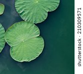 Green Lotus Leaf In The Lake.