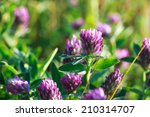 clover flower at dawn with dew... | Shutterstock . vector #210314707