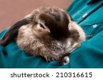A Pet Lop Eared Rabbit Snuggle...