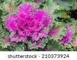 Detail Of Purple Ornamental Kale