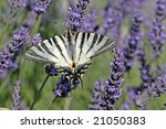 Scarce Swallowtail On Lavender...