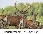 Cervus Elaphus   Deer With His...
