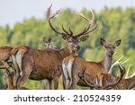 Cervus Elaphus   Deer With His...