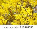 Closeup Of Forsythias Flowers...