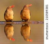 pair of birds with red beaks... | Shutterstock . vector #210589381
