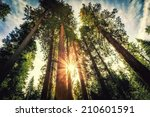 Tall Forest of Sequoias, Yosemite National Park, California - stock photo