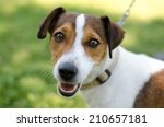 Stock photo jack russell smiles 210657181