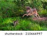 Coyote  Canis Latrans  Pounces...