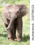 Stock photo cute baby elephant calf in this portrait image from south africa 210708121