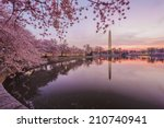 Cherry Blossoms In Peak Bloom....