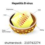 hepatitis b virus structure....   Shutterstock .eps vector #210762274