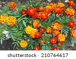 French Marigolds In The Rain