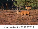 two red deer stags on heather | Shutterstock . vector #211227511