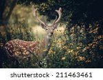 Whitetail Deer Standing In...