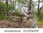 Old Gnarled Pine Trees In A...